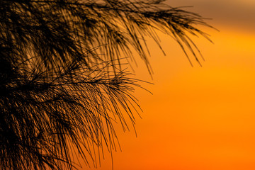 Silhouette image of a needle look of sea pine tree's leaves with the orange sky in the background.