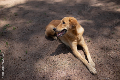 d1056e9e6f9 Brown dog is laying on the ground with full of dried sea pine leaves ...