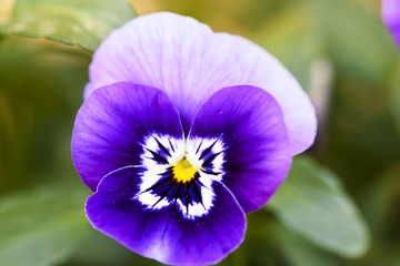 Pansy (Viola Tricolor) flower growing in the garden