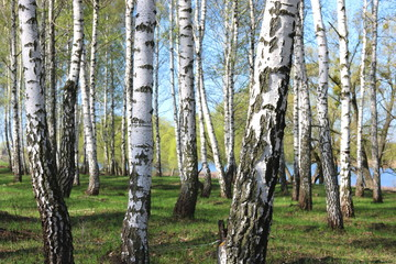 birch trees with white bark in spring in birch grove