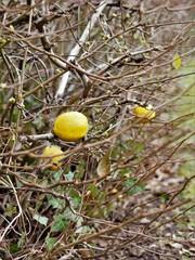 Zitrone am Busch