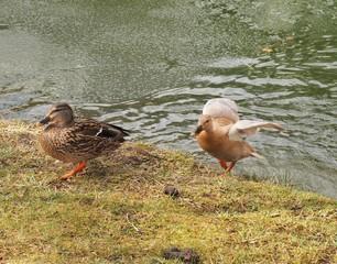 Ente aus dem Teich