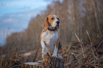 funny Beagle dog sitting on a stump in the woods