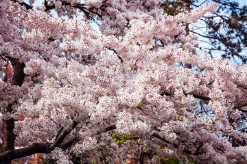 Sakura bloom city front blur building background brick wall park sun window sky cherry