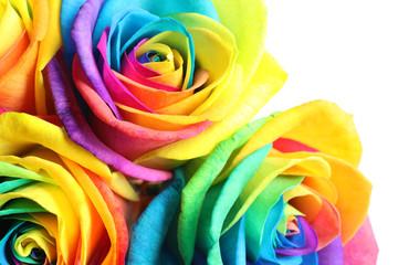 Amazing rainbow rose flowers, closeup