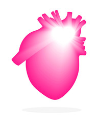 Dynamic anatomical image of a person's heart is pink. Isolated on white background