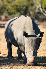 White rhino in safari park