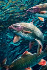 Fish (Underwater)