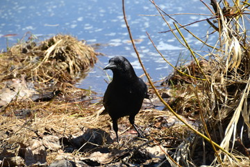 Curious American Crow