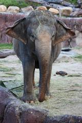 Elephant Ear Flapping