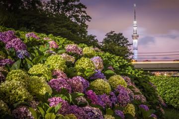 Tokyo Skytree and Hydrangea flower in summer season