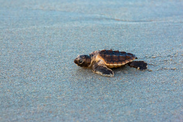 Baby Loggerhead Sea Turtle Up Close