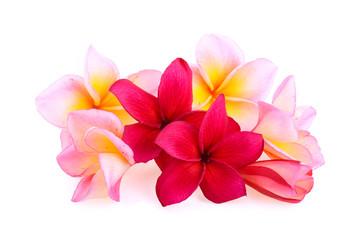frangipani flowers isolated on white background