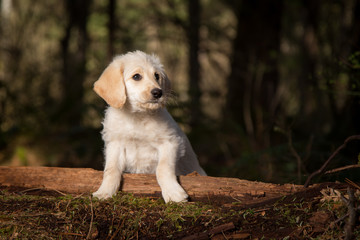 Cute labradoodle puppy in forest
