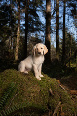 Labradoodle puppy in the forest