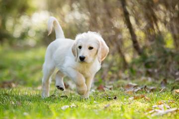 White labradoodle puppy