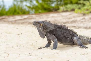 Large scaly Iguana close-up against a background of sand