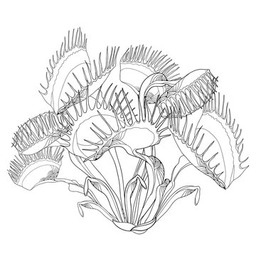 Vector drawing of Venus Flytrap or Dionaea muscipula with open and close trap in black isolated on white background. Carnivorous plant Venus flytrap in contour for botany design or coloring book.