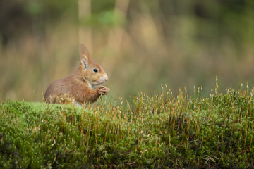 Türaufkleber Eichhornchen squirrel eats a nut and sits in the moss