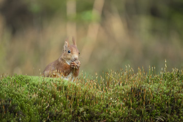 Foto auf Acrylglas Eichhornchen squirrel eats a nut and sits in the moss