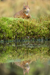 Türaufkleber Eichhornchen squirrel sits on the water and looks up alertly