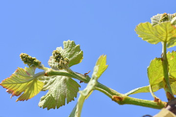 New grape leaves and flower buds