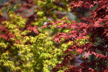 Maple tree leaves close up