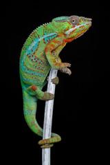 alive chameleon reptile