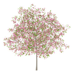 flowering plum tree isolated on white background