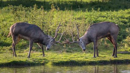 Milu Deer - Pere Davids