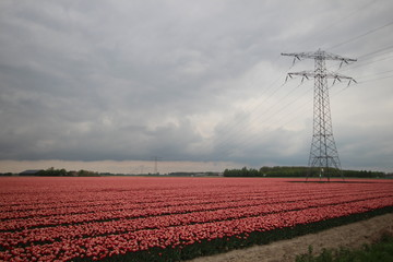 Fields of red with white tulips in a row on the island Goeree Overflakkee during springtime in the Netherlands