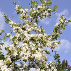 Beautiful nature scene with blooming tree of apple
