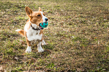 welsh corgi cardigan holding a blue ball in the mouth against a background of green grass