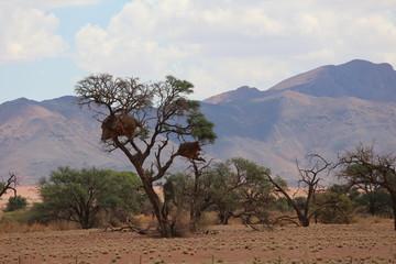 Camel thorn tree. 2