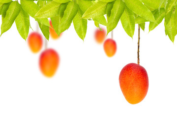 Red Ripe mango hanging on tree isolated white background