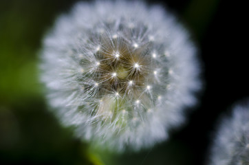 Macro picture of Dandelion