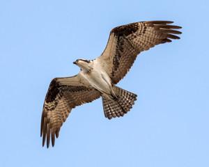 Osprey on the Hunt