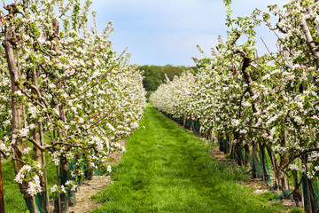 Blossoming fruit garden