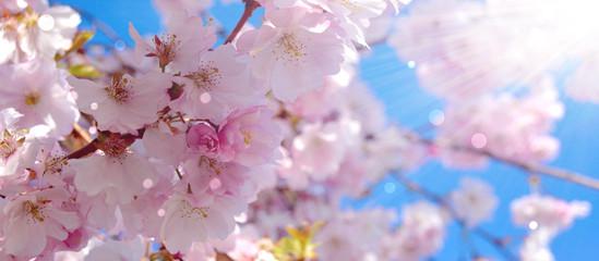 Wall Mural - Frühling - Japanische Kirschblüten