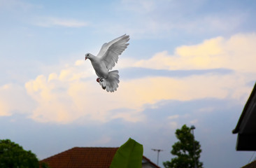white feather homing pigeon hovering mid air