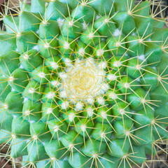 Top view of a cactus mammillaria as background, texture (square image)
