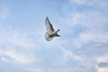 white feather pigeon bird flying against beautiful blue sky