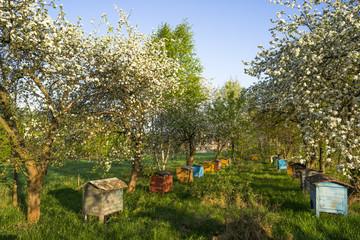 Stare ule w kwitnącym sadzie