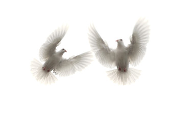 two white feather pigeon flying mid air against white background