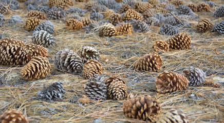 Pine seed in Yosemite National Park - California
