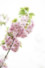 Kirschblüte 12