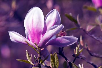 Ultra Violet Magnolia