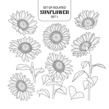 Set of isolated sunflower set 1.
