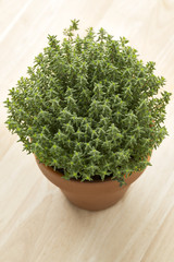 Terracotta  pot with fresh thyme