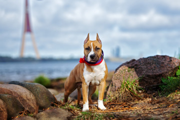 american staffordshire terrier puppy posing by the river